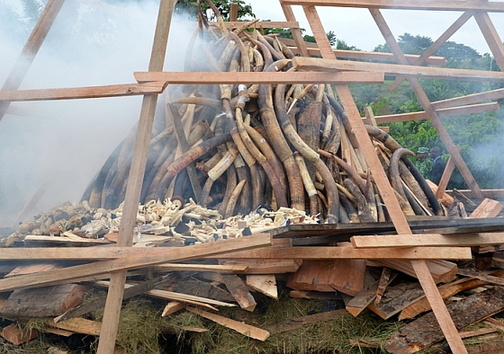 Gabon verbrandt ivoor