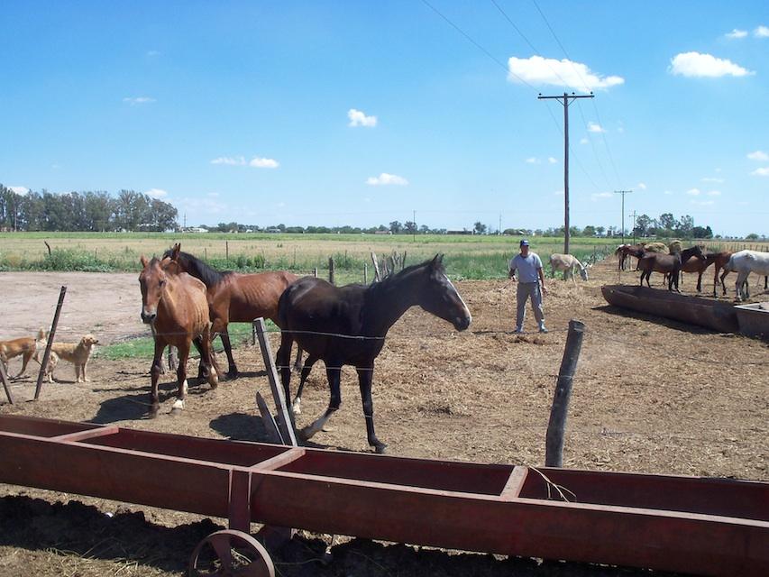 Gaia paarden Argentinië
