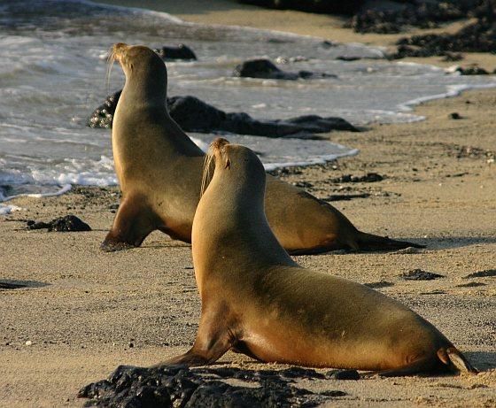 Galapagos zeeleeuwen