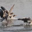 Vreedzaam protest tegen afschot ganzen