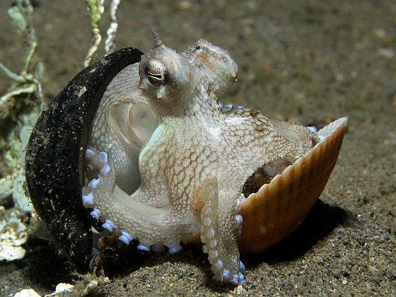 Geaderde octopus - Recyclende dieren