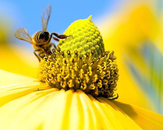 Gedesoriënteerde bijen