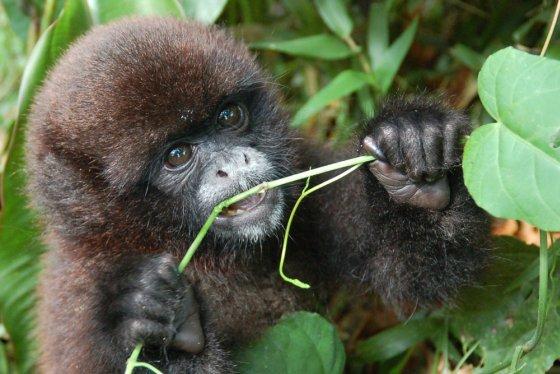 Peruaanse apen