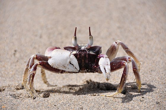 Gehoornde spookkrab - krabben