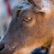 Vooral schapen en geiten slachtoffer van onverdoofde slacht
