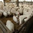 Wakker Dier: Campagne voor geit in de wei