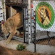 Achtergelaten Roemeense leeuwen naar Lionsrock Zuid-Afrika