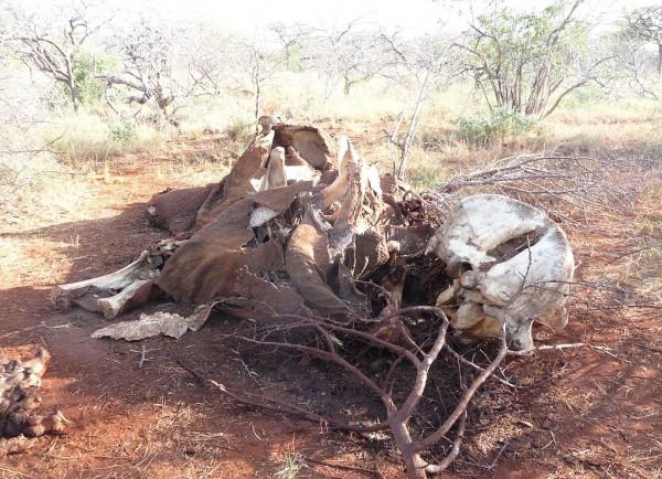 Olifant gestroopt voor ivoor ivoorhandel