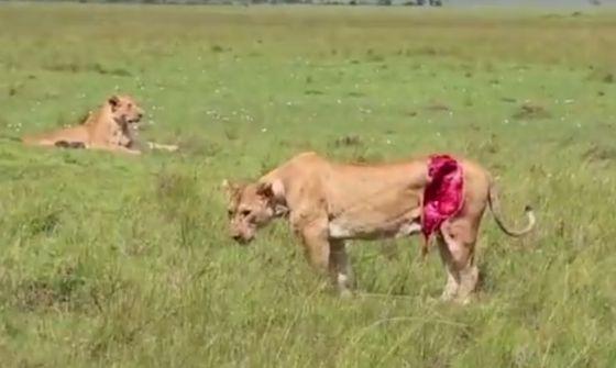 gewonde leeuw