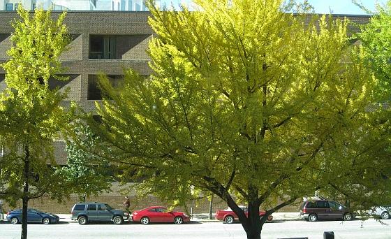Ginkgo-bomen Baltimore