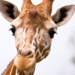 Giraf niet koosjer te slachten