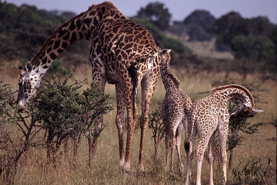 Giraffe familie