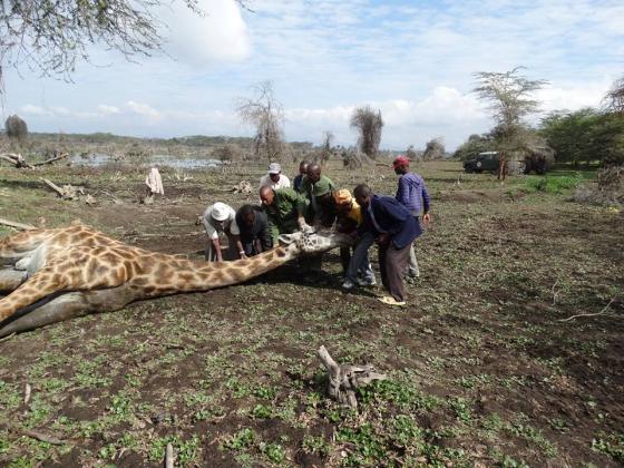 uitgeputte giraffe