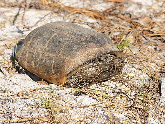 gopherschildpadden