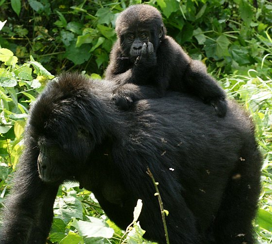 Gorilla met jonkie - gorillabont
