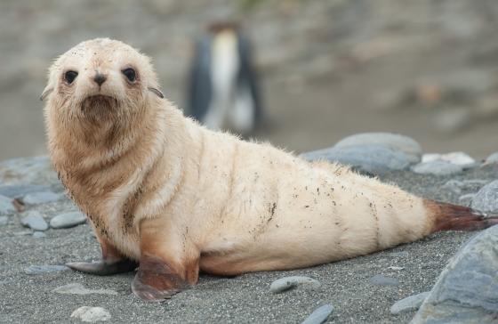 goudblonde zeeleeuw