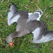 Slachtpartij onder ganzen in rustgebied tijdens broedseizoen