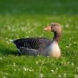 Serie: Wat is het lot van de ganzen rond Schiphol? – deel 4