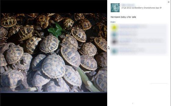 Griekse landschildpadden - dierenhandelaar