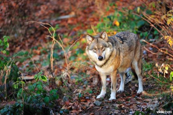 wolvenvoorlichter