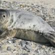 Zeehond gesignaleerd in Biesbosch
