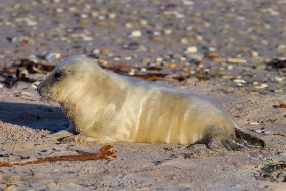 Pasgeboren grijze zeehond