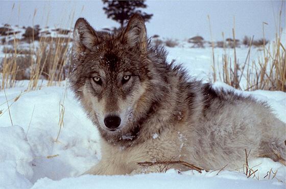 Beschermde grijze wolf