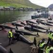 Erwin Vermeulen: Een griendenslachting op de Faeröer Eilanden in November