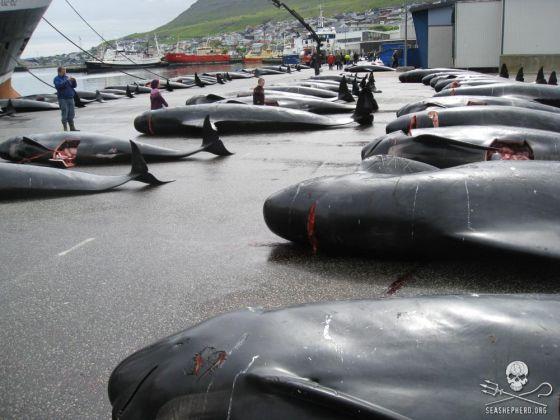 grindstop Faroër dolfijnjacht