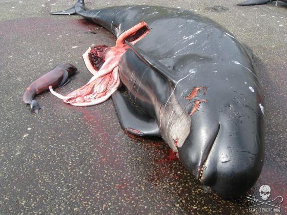 Faroër, grindstop, dolfijnjacht