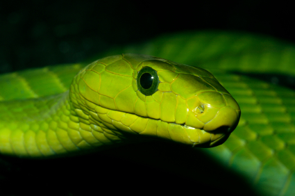 Groene Mamba slang