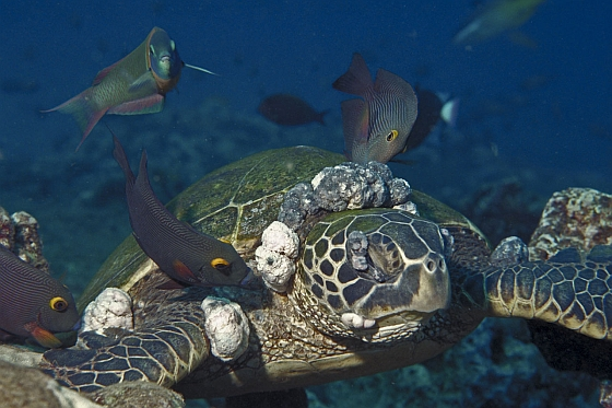 Groene zeeschildpad met tumoren