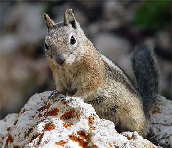 Grondeekhoorn - eekhoorntje