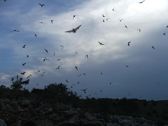Guanovleermuizen