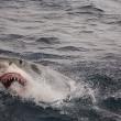 Australië gaat toch haaien voor populaire stranden doden