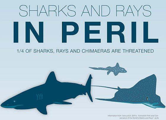 Haaien en roggen