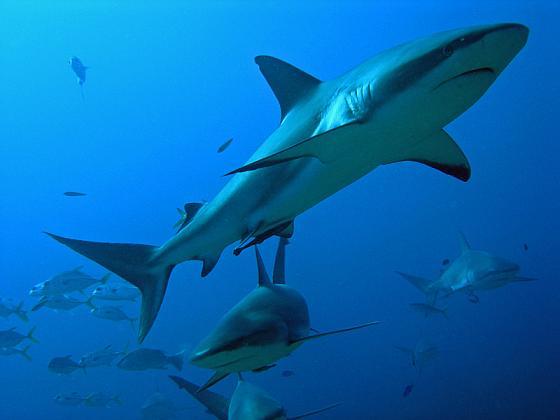 haaienvangst India