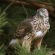 Voortbestaan roofvogels bedreigd door ammoniakuitstoot en verzuring