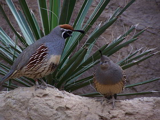 Helmkwartel - klimaatverandering vogels