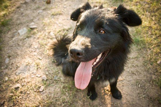 Hijgende hond