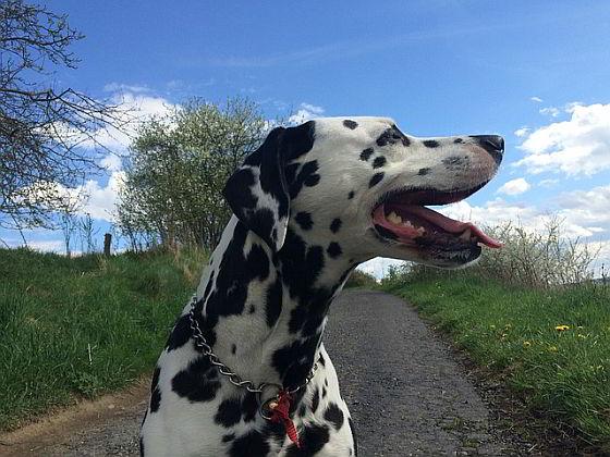 Hijgende hond - Bescherm dieren tegen oververhitting