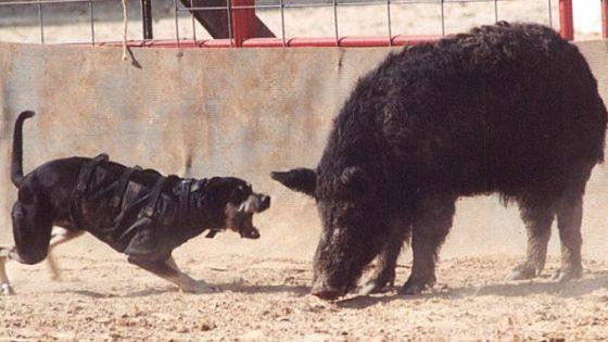 hog baying