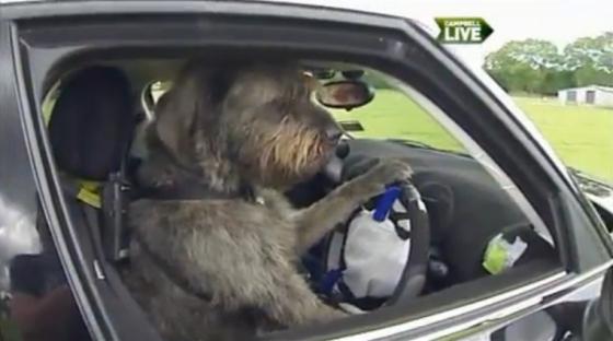 hond rijdt auto