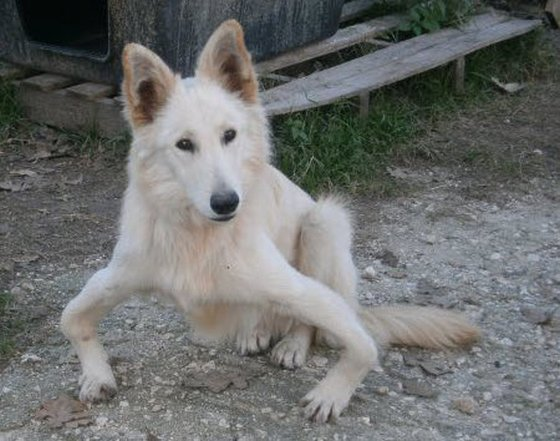 Griekse hond