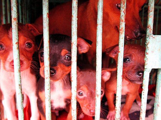 Honden - Vietnam