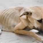 Hongerlijdende hond