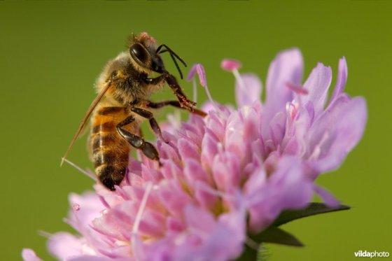 dode bijen