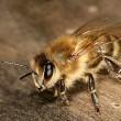 Combinaties van pesticiden extra schadelijk voor bijen