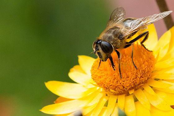 Honingsnelweg