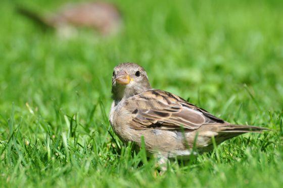 Mus tuinvogeltelling